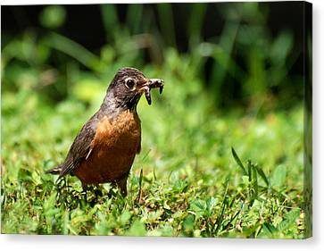 Early Bird American Robin Canvas Print by Christina Rollo