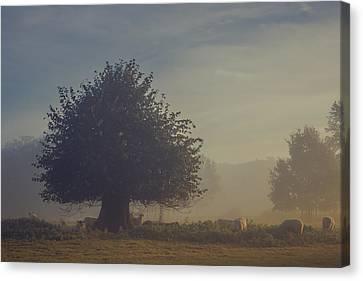 Early Morning Sheep Meet Canvas Print by Chris Fletcher