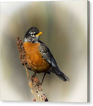 Early Spring Robin Canvas Print by Barbara Smith