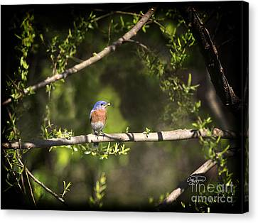 Eastern Blue Bird At Sunrise Canvas Print by Cris Hayes