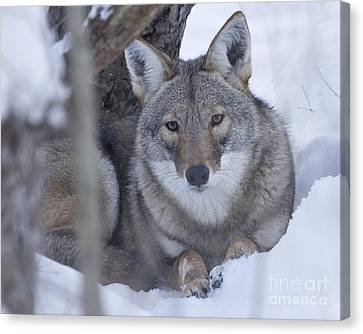 Eastern Coyote In Winter Canvas Print by Deborah  Smith
