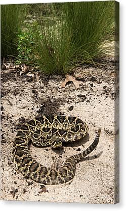 Eastern Diamondback Rattlesnake Canvas Print by Pete Oxford