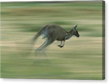 Eastern Grey Kangaroo Female Hopping Canvas Print by Ingo Arndt