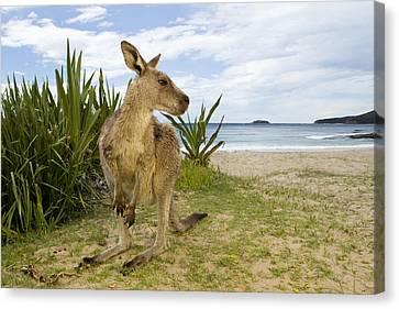 Eastern Grey Kangaroo Pebbly Beach Canvas Print by Sebastian Kennerknecht