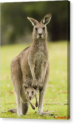 Eastern Grey Kangaroo With Joey Peering Canvas Print by Sebastian Kennerknecht