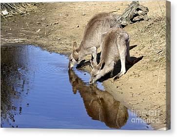 Eastern Grey Kangaroos Drinking Canvas Print by Gerry Pearce