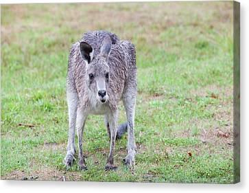 Eastern Grey Kangaroos Grazing Canvas Print by Ashley Cooper
