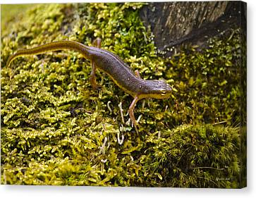 Eastern Newt Aquatic Adult Canvas Print by Christina Rollo