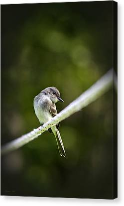 Eastern Phoebe Canvas Print by Christina Rollo