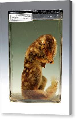 Eastern Quoll Canvas Print by Ucl, Grant Museum Of Zoology