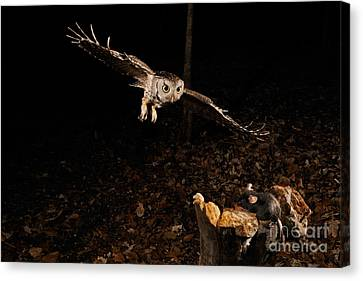 Eastern Screech Owl Hunting Canvas Print by Scott Linstead