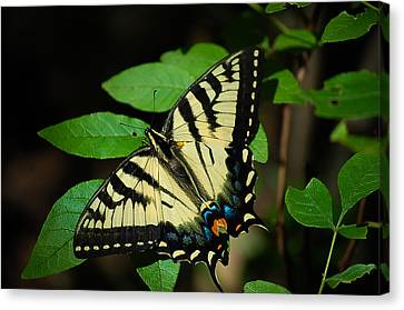 Eastern Tiger Swallowtail Canvas Print by Bianca Nadeau