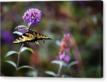 Eastern Tiger Swallowtail On Budleia Canvas Print by Rob Travis
