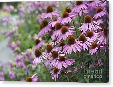 Echinacea Purpurea Rubinglow Canvas Print by Tim Gainey