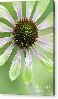 Echinacea Green Envy Flower Canvas Print by Tim Gainey