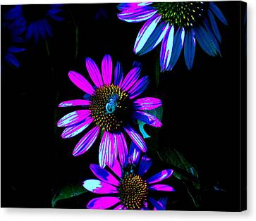 Echinacea Hot Blue Canvas Print by Karla Ricker