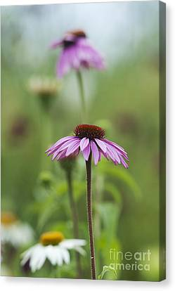 Echinacea Purpurea Magnus  Canvas Print by Tim Gainey
