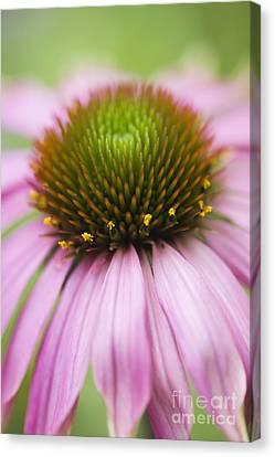Echinacea Purpurea Rubinglow Coneflower Canvas Print by Tim Gainey