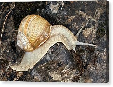 Edible Snail Canvas Print by Bob Gibbons