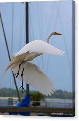 Egret In Flight Canvas Print by Debra Forand