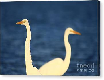 Egrets In Blue 16x20 On Sale Canvas Print by John F Tsumas