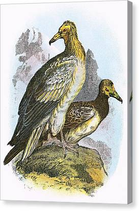 Egyptian Vulture Canvas Print by English School