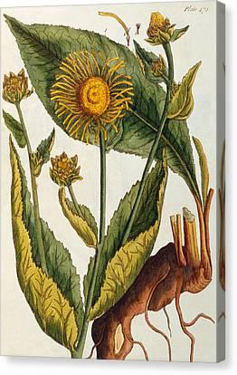 Elecampane Canvas Print by Elizabeth Blackwell
