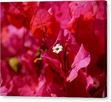 Electric Pink Bougainvillea Canvas Print by Rona Black