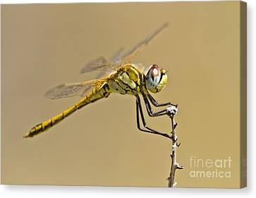 Elegant Dragonfly Canvas Print by Heiko Koehrer-Wagner