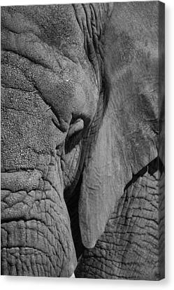 Elephant Bw Canvas Print by Ernie Echols