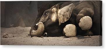 Elephant - Lying Down Canvas Print by Johan Swanepoel