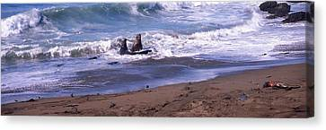Elephant Seals In The Sea, San Luis Canvas Print by Panoramic Images