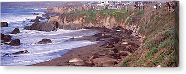 Elephant Seals On The Beach, San Luis Canvas Print by Panoramic Images