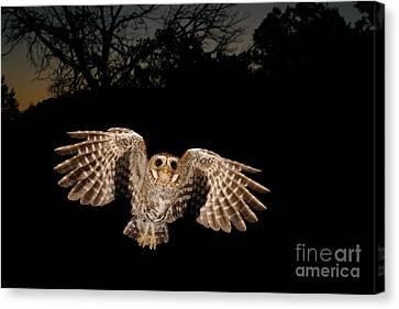 Elf Owl Canvas Print by Scott Linstead