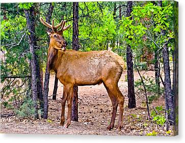 Elk In Canyon National Park Canvas Print by Bob and Nadine Johnston
