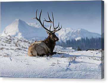 Elk In Yellowstone Canvas Print by Wildlife Fine Art