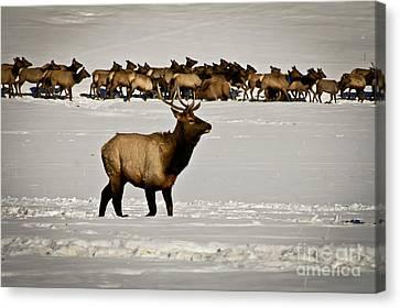 Elk Canvas Print by Stefano Carini