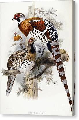 Elliot's Pheasant Canvas Print by Joseph Wolf