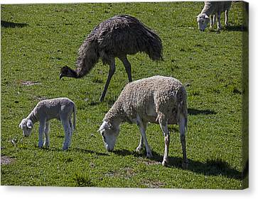Emu And Sheep Canvas Print by Garry Gay