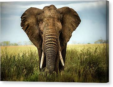 Encounters In Serengeti Canvas Print by Alberto Ghizzi Panizza