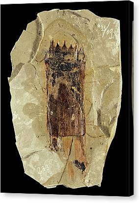 Equisetum Horsetail Fossil Canvas Print by Gilles Mermet