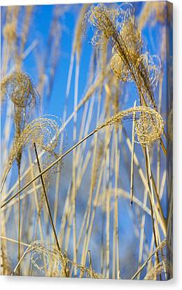 Eulalia Grass Native To East Asia Canvas Print by Anonymous