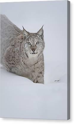 Eurasian Lynx Canvas Print by Andy Astbury