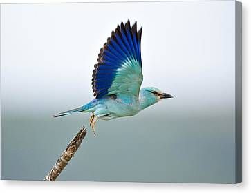 Eurasian Roller Canvas Print by Johan Swanepoel