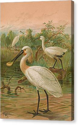Eurasian Spoonbill Canvas Print by J G Keulemans