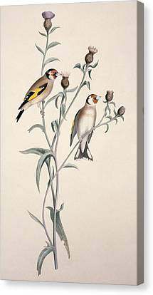 European Goldfinch, 19th Century Canvas Print by Science Photo Library