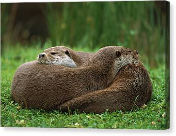 European River Otter Lutra Lutra Canvas Print by Ingo Arndt