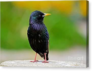 European Starling At Monterey Canvas Print by Susan Wiedmann