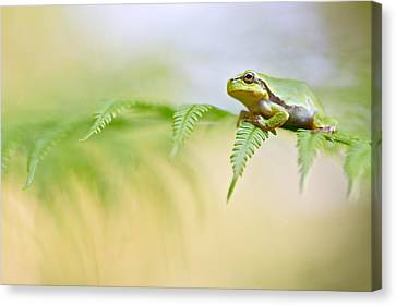 European Tree Frog Canvas Print by Dirk Ercken