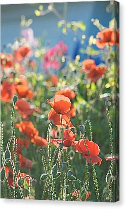 Evening Lights The Poppies Canvas Print by Lisa Knechtel